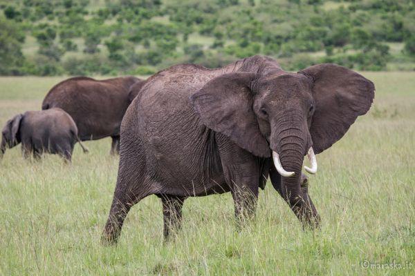 kenya-animals-elefants-img-0008A1759004-D2DE-3F8F-791C-AED977A12396.jpg