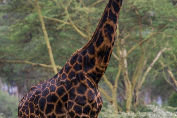 kenya-animals-giraffe-img-0414A3E75A64-F304-45B5-4C6A-690091CBB3FD.jpg