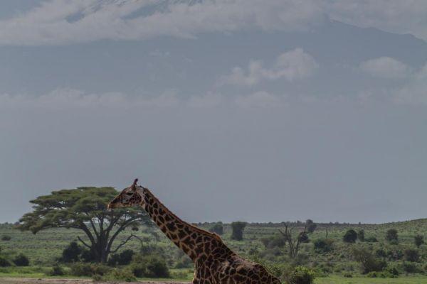 kenya-animals-giraffe-img-1120B8E0BD1E-8798-20B5-E579-DFD406C08D4F.jpg
