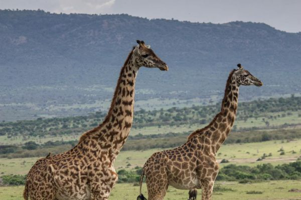 kenya-animals-giraffe-img-93469773C32A-8B6A-2AF6-993B-030D8CD0169C.jpg