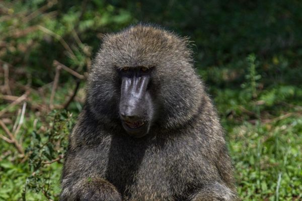 kenya-animals-monkeys-img-013491B83918-905C-5E3E-9C66-0D315E0724F2.jpg