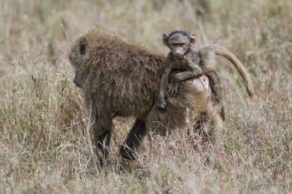 kenya-animals-monkeys-img-0271F3854092-D898-6ED5-F8BB-E9E8D5791CB9.jpg