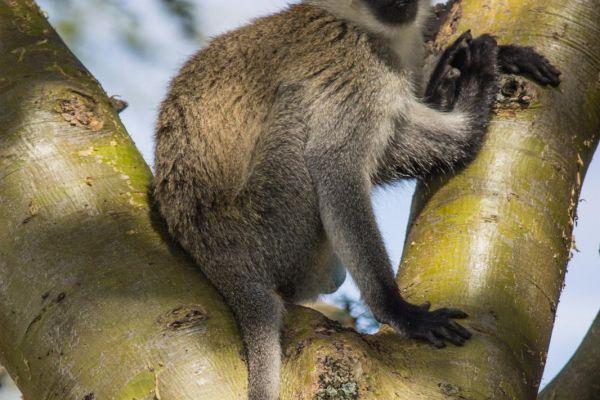 kenya-animals-monkeys-img-929008684D7F-A1D5-4DC2-2FAA-25FE258CCE35.jpg