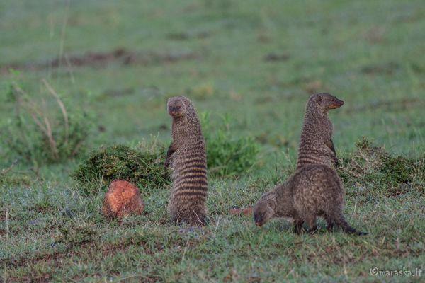 kenya-animals-others-img-0317-26DBAC336-4911-FFF1-23CD-7D6B6D66304E.jpg