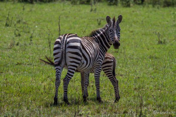 kenya-animals-ruminant-img-0510F5905C15-3E0C-F156-6CDA-0F1242D6C478.jpg