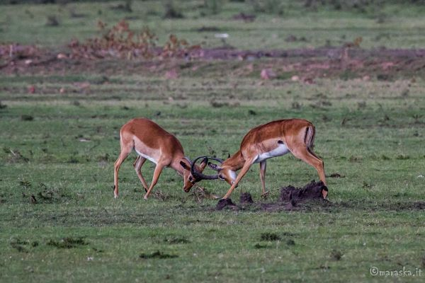 kenya-animals-ruminant-img-0580849F88FC-4195-2A8D-3A34-6BC66F089196.jpg