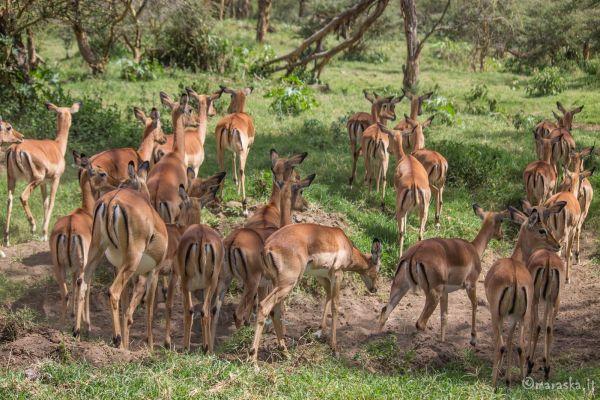 kenya-animals-ruminant-img-898133079666-0B5D-64C5-AFA6-0A0C85AE076C.jpg