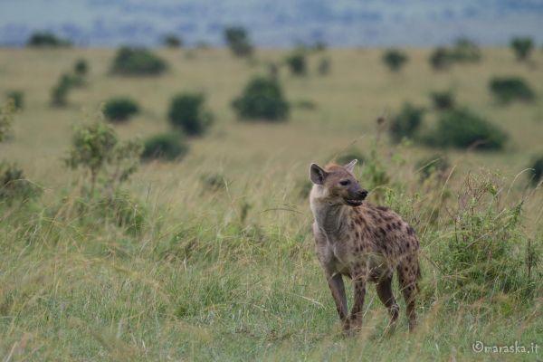 kenya-animals-simbas-img-00294FB581B8-CCCD-6050-AC2B-0B7F1365DC1D.jpg