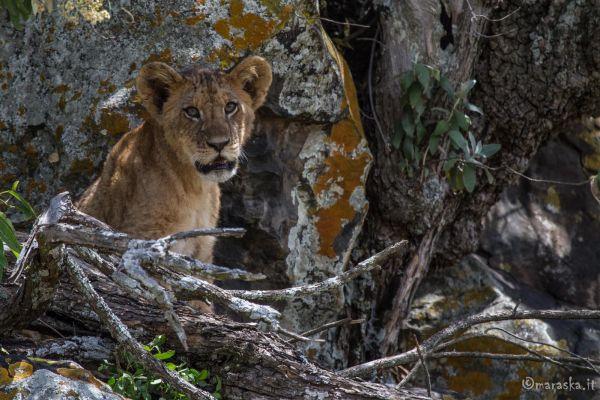 kenya-animals-simbas-img-0467DE6ED4D9-2DC2-F894-C1D7-936521C13785.jpg