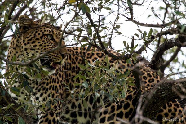 kenya-animals-simbas-img-0485FE24A004-7F78-DBCB-3906-4E81355FA148.jpg