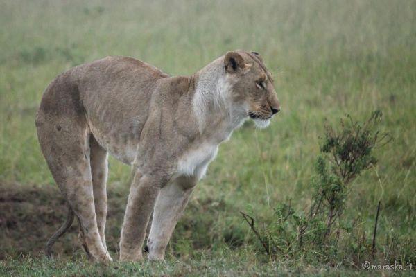 kenya-animals-simbas-img-90581555BCB2-CE8D-EA8E-7E47-B7734FF62AFC.jpg