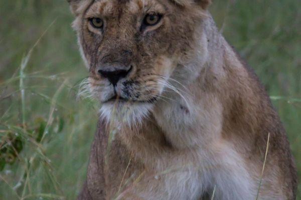 kenya-animals-simbas-img-90766923D454-B2AB-A39B-3683-9E3055B8516F.jpg