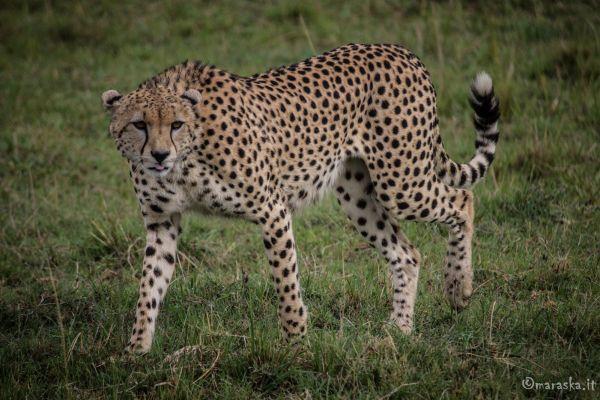 kenya-animals-simbas-img-9123EB9FE9CF-3C06-EA41-0A95-B1368C9A5771.jpg
