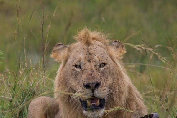 kenya-animals-simbas-img-9187D2F9841B-2A75-AB4D-5CDA-54C9831A4276.jpg