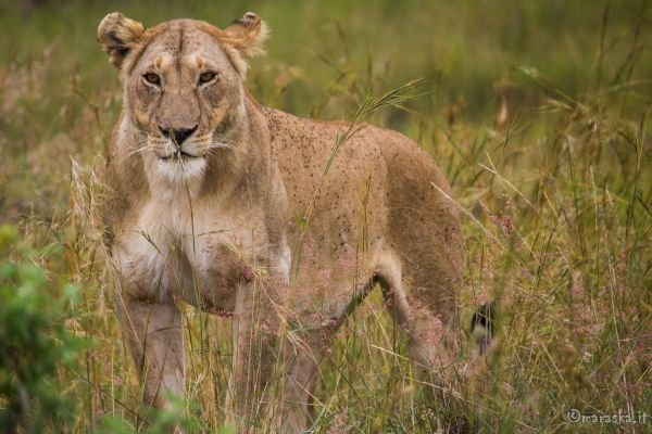 kenya-animals-simbas-img-92086156BCF8-5E06-013C-FB78-6A8806BB1C13.jpg