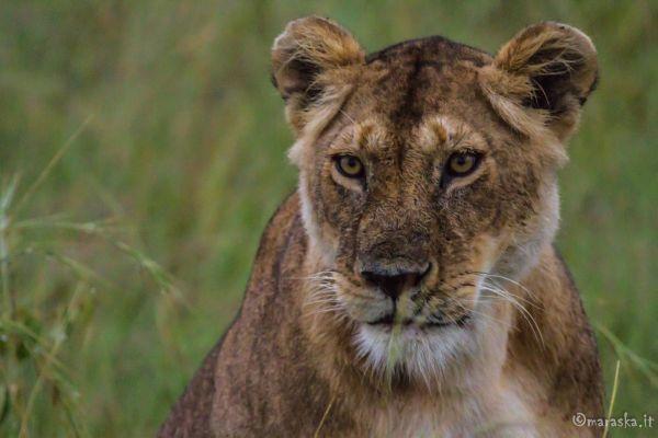 kenya-animals-simbas-img-9860C73C0AAE-61AD-55EB-444D-9BB398F99115.jpg
